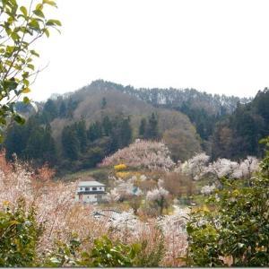 平成最後の花見 第2週(6)花見山(その2)花見山をうろうろ