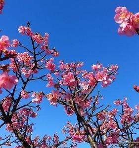 おさきに、もう咲いてます - 河津桜(大横川)