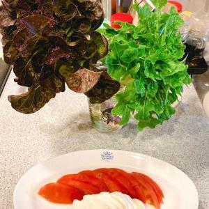 家庭菜園 レタスサラダ