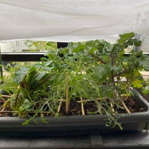 ベランダ菜園2度目の初収穫