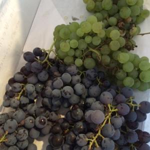 ワイン用の葡萄がとても甘くて、ジュースみたいで食べるのを止められない〜〜!