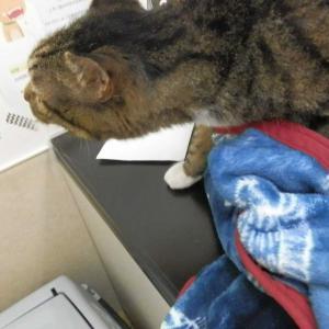 手術成功しました!甲状腺機能亢進症から 甲状腺手術…★公園猫さんについてのお知らせ…