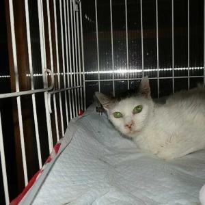 FIV(猫免疫不全ウイルス)が治療を邪魔する…★スモーキーさん…グループ