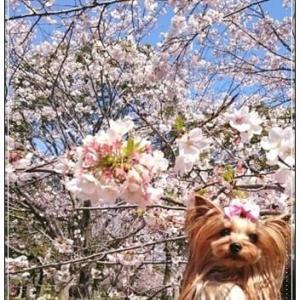 ♪お花見散歩♪