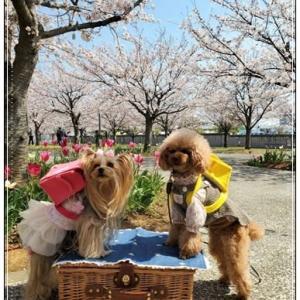 ♪桜を見ながらキャイ~ン♪