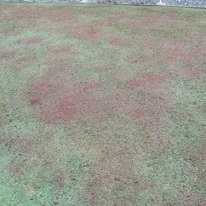 化成肥料に比べるとクラピアに使いにくい堆肥
