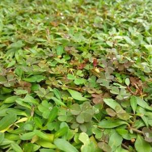 カタバミ除去クラピアへの除草剤二回目の散布