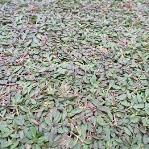 クラピアの紅葉は黒と茶のパターンがあります