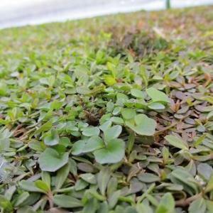 クラピアの雑草には今年も除草剤を使用します