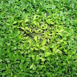 クラピアのカタバミ雑草対策に確かな手ごたえ