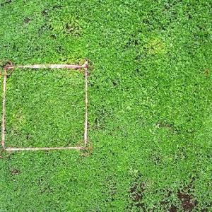 除草剤の影響を受けたクラピアを復活させます