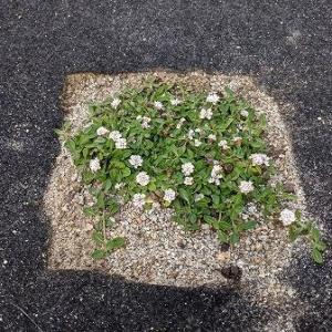 クラピアの苗を植えて一か月ランナーが伸びる