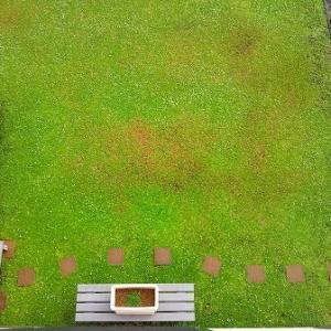 今年は夏枯れの発生がなくとても綺麗な緑絨毯