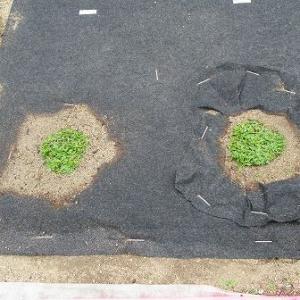 植栽シートの通根具合を実際に掘って確認みる