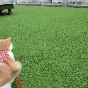 クラピアの素敵な緑絨毯を作るのに雑草を駆除