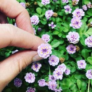 クラピアK3の詳細情報ピンクの可愛い花です
