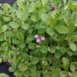 クラピアK3のピンク花がついに咲いてくれた