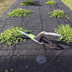 草丈の高いクラピアK3を低く保つ実験を開始