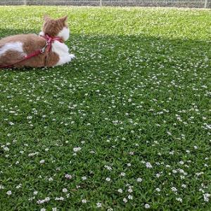 クラピアの花畑が好きな猫マリーは動きません