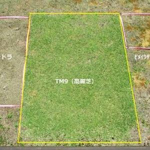 TM9(高麗芝)とグランドカバーの比較画像です