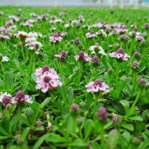 クラピアの花がポツポツと咲き始めてきました