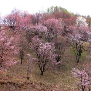北海道のGWは美瑛富良野へ桜を見に行こう!5月で何もない丘の景色もまたおすすめ