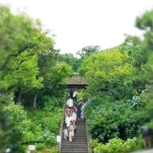 東慶寺参道の紫陽花。