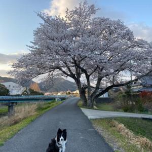 桜は咲きます♪