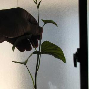 シモン芋の苗を作ることができました。
