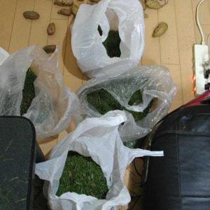松の葉は面白いので、冷凍保存だ!