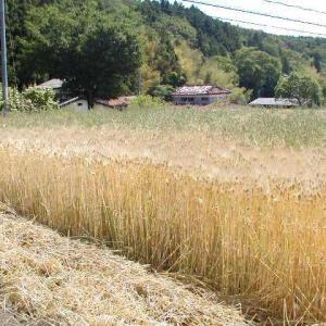 麦の収穫期、不思議!