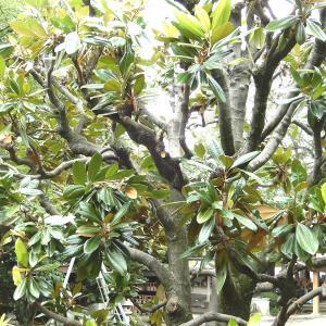 【埼玉県羽生市】庭木の剪定を安く定期的に管理していきたいそんな方におすすめなのが長谷川植木屋!