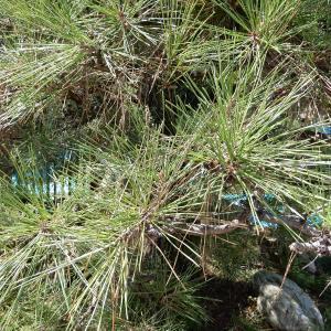 【 熊谷市・北本市・鴻巣市 】素人が植木のお手入れで絶対に刺されてしまう害虫を植木屋が解説!