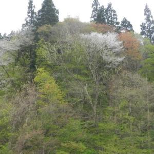 ◆青空、白い雲、やさしい風 毎年恒例、田舎の山に山菜を取りに行く