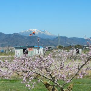 桃の花が咲き始めました