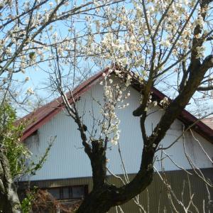 小梅が春の嵐に耐え咲いています