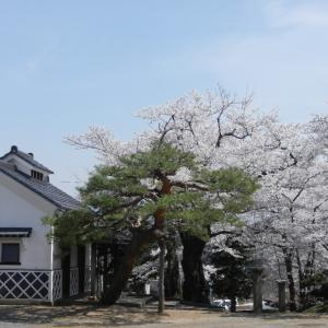 やっと桜が満開に・・。