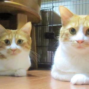 並んで香箱を組む双子猫