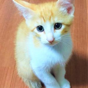 日本猫っぽいトラ