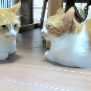 向かい合う双子猫