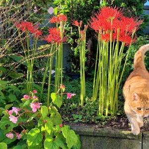 彼岸花と猫