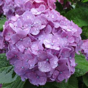 雨の日のアジサイと郷愁