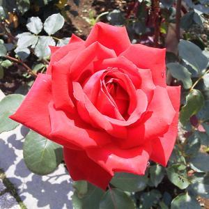 初夏の薔薇を楽しむ│神代植物公園 春のバラフェスタ2020
