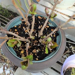 スリット鉢にアジサイを植えたら驚きの生育になりました