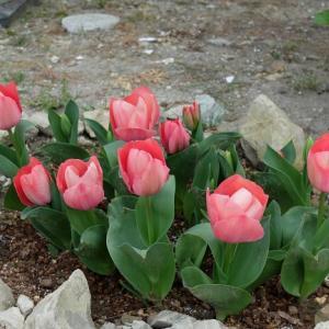 地植えのチューリップが咲き始めました