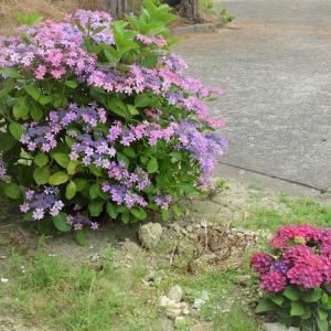 経年で紫陽花の花色が変わってきました
