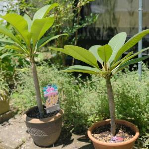 真夏に強い植物、プルメリア
