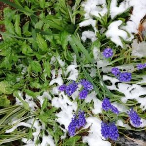 初雪/芽吹き