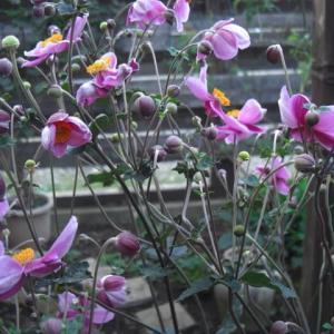 秋風にゆれる秋明菊