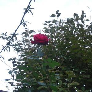 リルケの薔薇